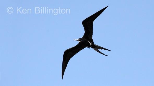 Magnificent Frigatebird (Fregata magnificens) (1)