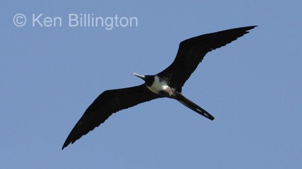 Magnificent Frigatebird (Fregata magnificens) (3)