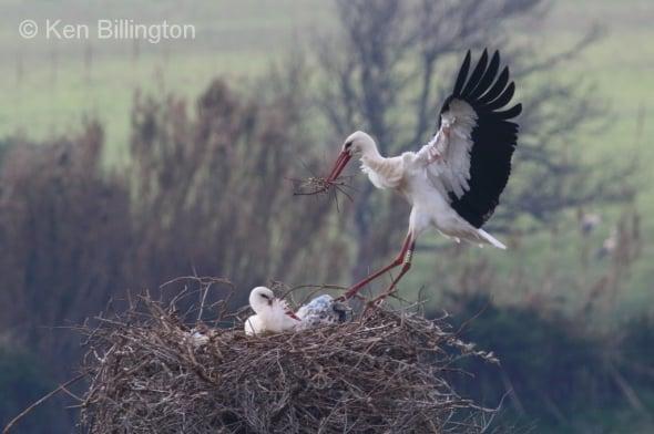 Soft Landing - White Stork