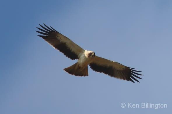 Booted Eagle (Hieraaetus Pennatus) in Flight