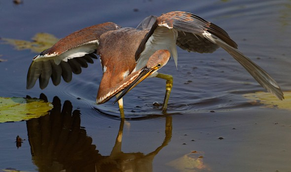 Tricolored Heron Canopy Feeding