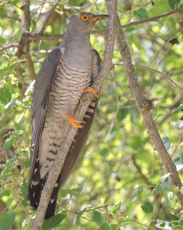 Three Cuckoos In One Tree