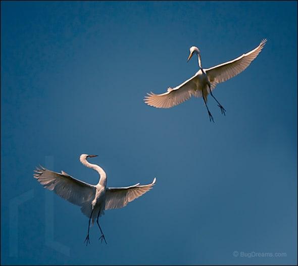 Two Stars - Great White Egret