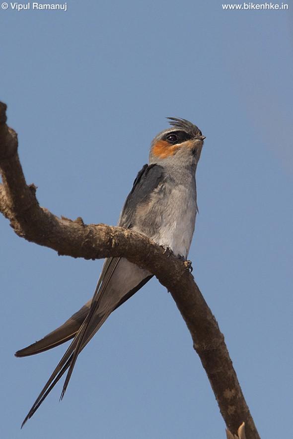 Crested Treeswift | Hemiprocne Coronata