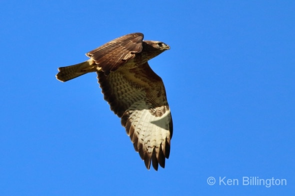 Buzzard in the Setting Sun
