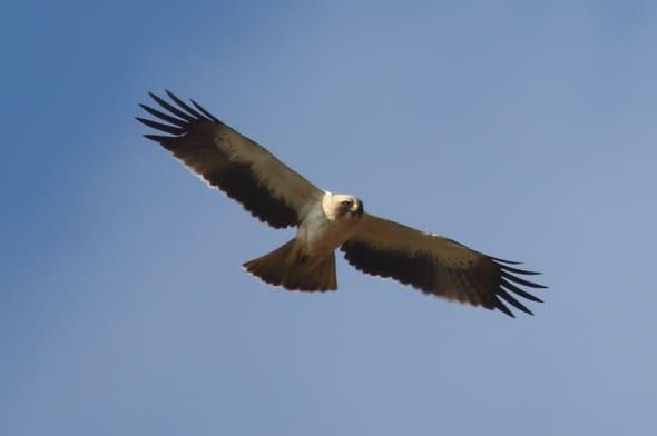 Booted Eagle (Hieraaetus pennatus) (01)