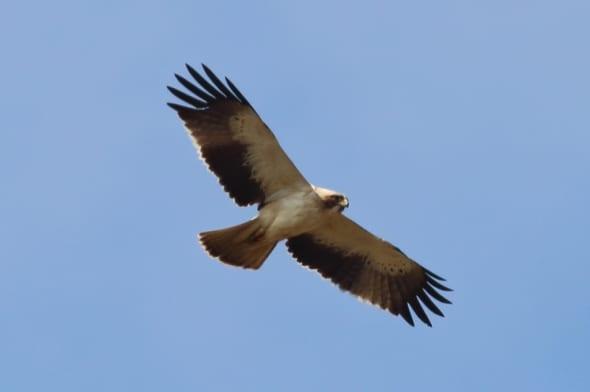 Booted Eagle (Hieraaetus pennatus) (03)