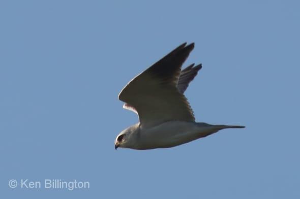 Black-winged Kite (Elanus caeruleus) (01)