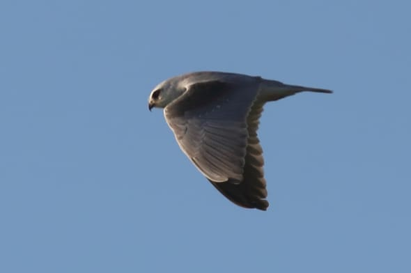 Black-winged Kite (Elanus caeruleus) (02)