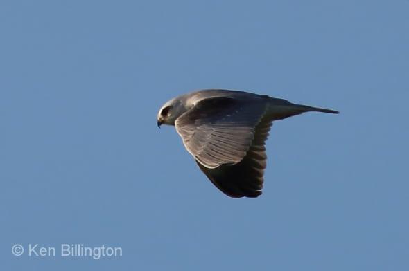 Black-winged Kite (Elanus caeruleus) (03)