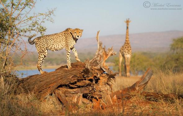 Stumped by a Cheetah