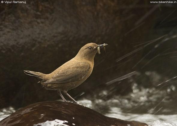 Brown Dipper | Cinclus Pallasii | Sattal