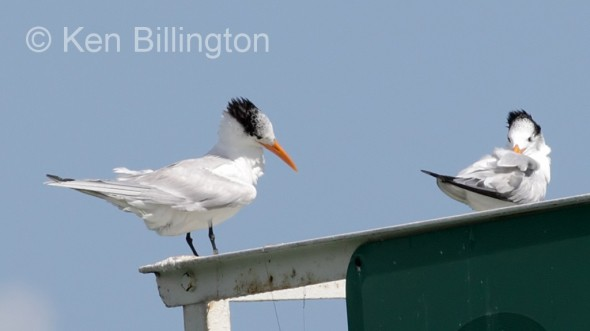 Royal Tern (Thalasseus maximus) (2)