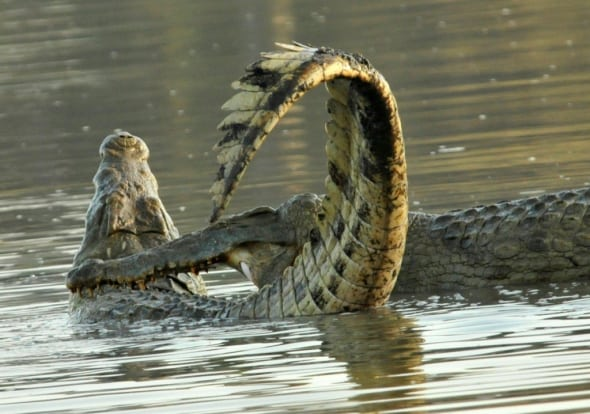 Fight of Nile Crocodiles