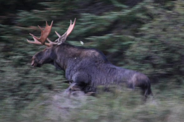 Moose Running for Cover