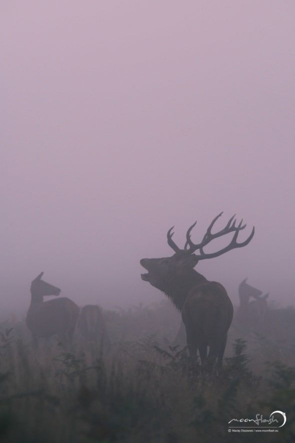 Red Deer -  Stag in the Fog.