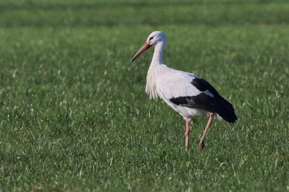 """""""Taking a Stroll"""" – White Stork"""