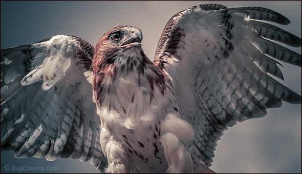 Red-tailed Hawk on a Collision Course