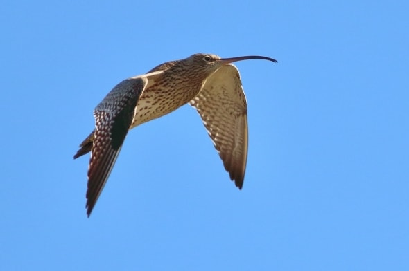 Eurasian Curlew in Flight