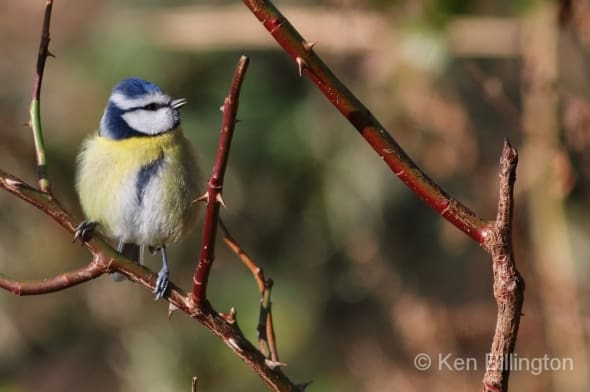 Blue Tit on a Thorny Branch