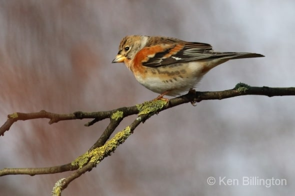 First Brambling of the Winter
