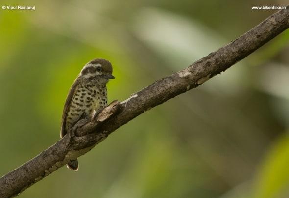 Speckled Piculet Picumnus Innominatus