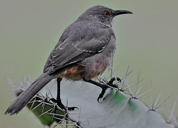 Curve-billed Thrasher on Barb Wire Cactus