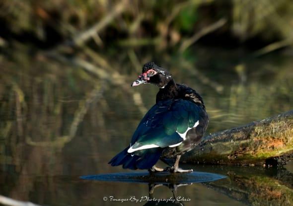 Mute Duck