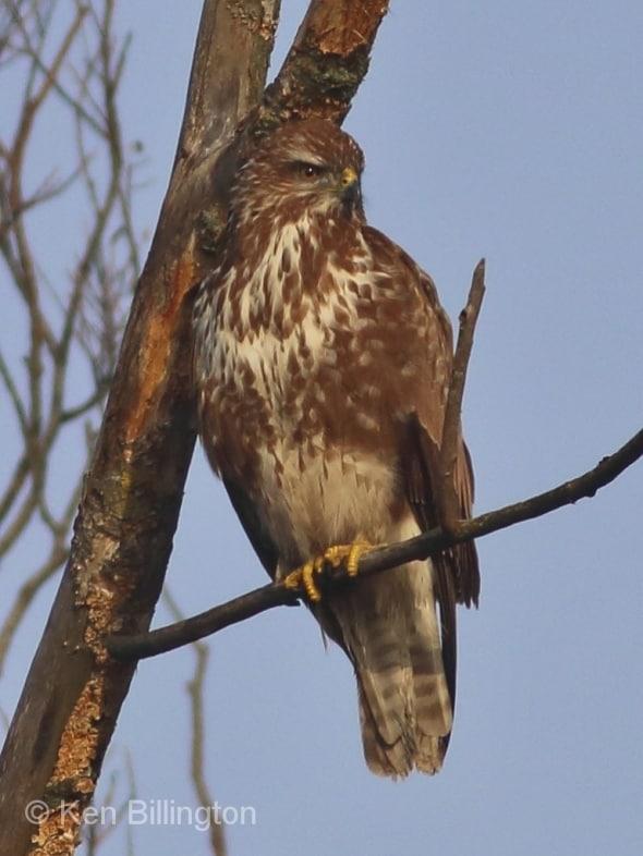 On the Lookout! Common Buzzard (Buteo Buteo)