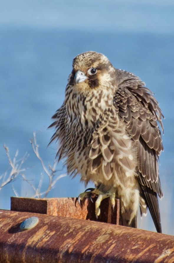 An immature peregrine falcon, Falco peregrinus