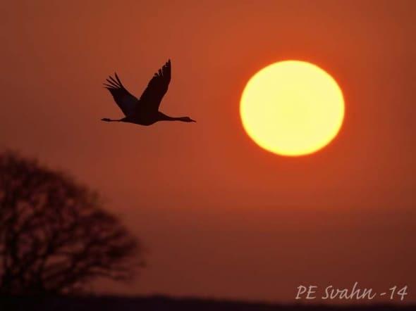 Crane over Lake Hornborga