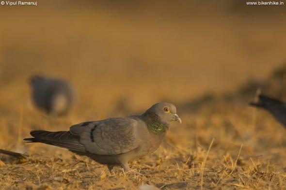 Yellow-eyed Pigeon  -  Columba Eversmanni