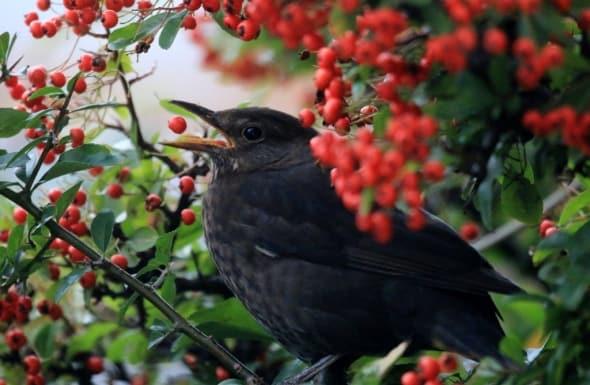 Female Blackbird on Pyracantha