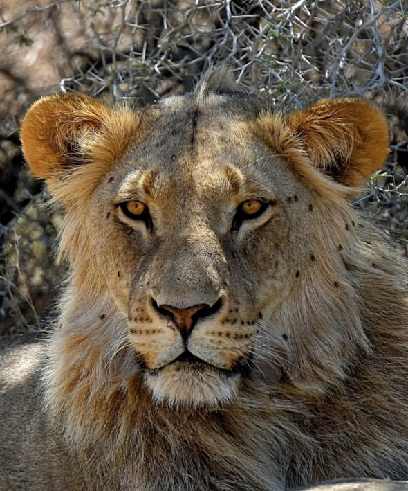 Kgadlagadi Lion