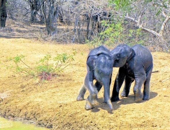 Baby Elehants
