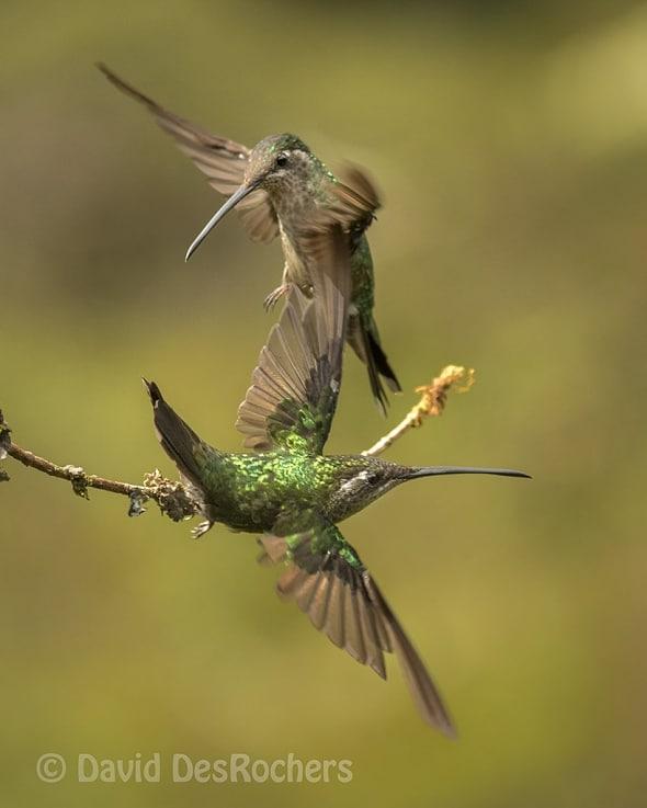 Female Magnificent Hummingbirds