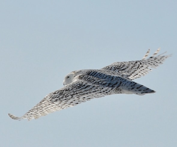 Flight Shot, Snowy Owl