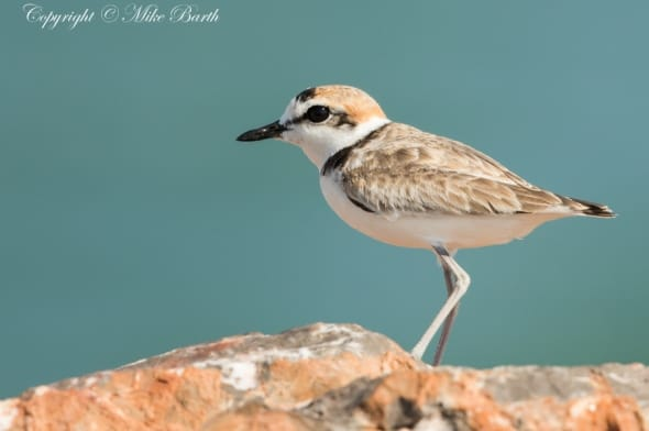 Malay Plover