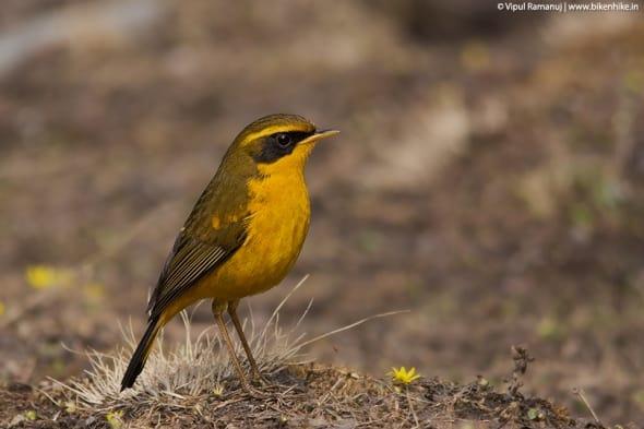 Golden Bush Robin  -  Tarsiger Chrysaeus