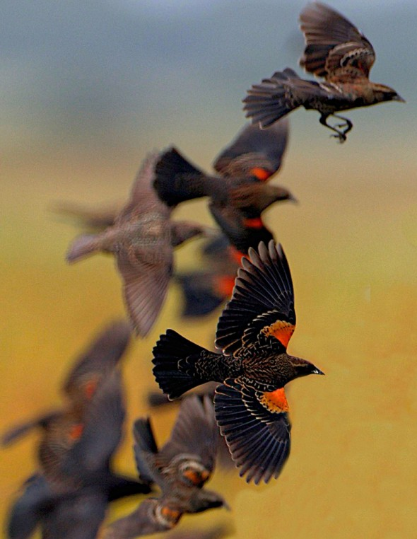 Red-winged Blackbirds Over Grain Field