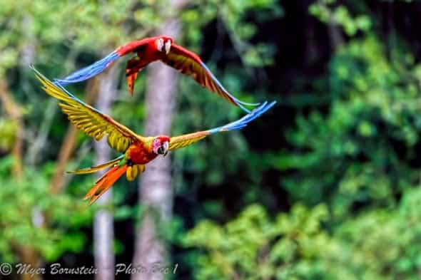 Pair of Macaws