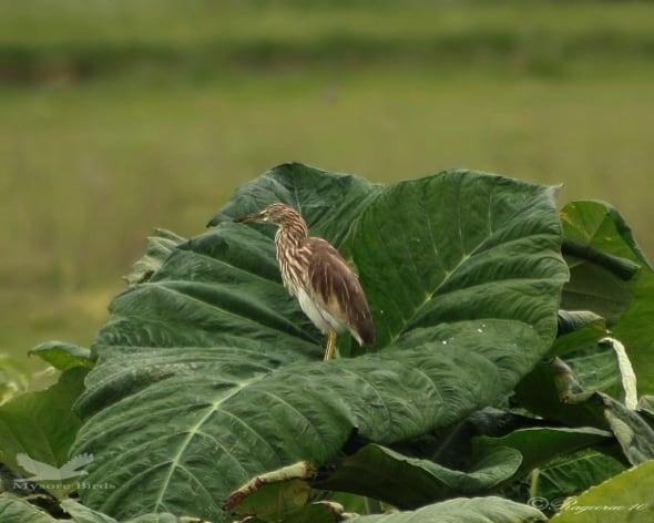Leaf Heron ?