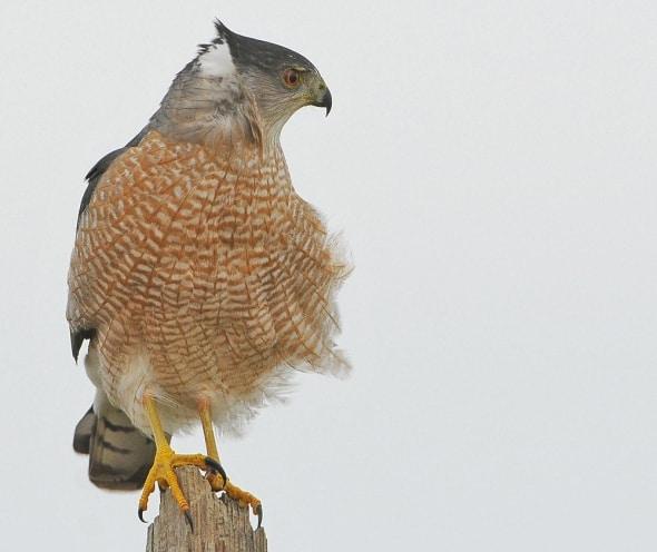 Coopers Hawks Love the Wind