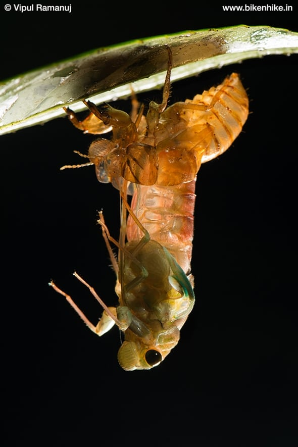 Cicada Emerging from Its Nymph Shell
