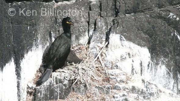 Shag (Phalacrocorax aristotelis) (01)