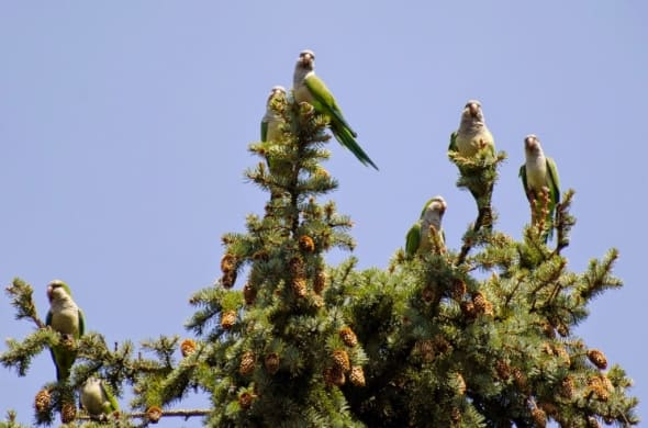 Brooklyn's Monk Parakeets