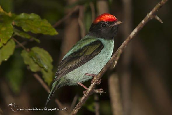 Swallow-tailed Manakin Chiroxiphia caudata