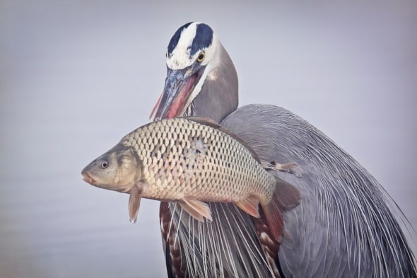 Great Blue Heron with Carp