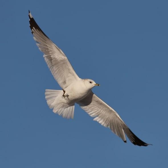 Black-headed Gull in Flight