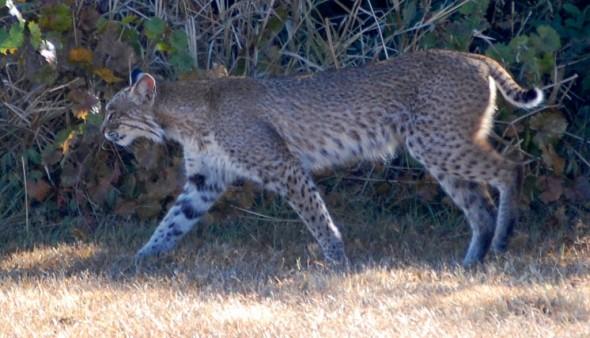 Florida Bobcat (Lynx Rufus)